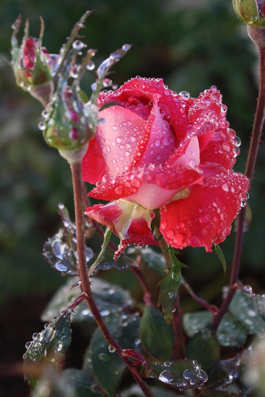 Розы и дождь картинки