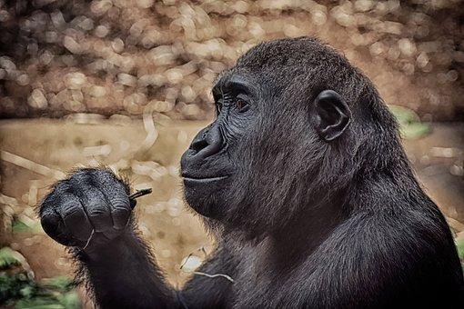 Monkey, Mammal, Animal, Gorilla