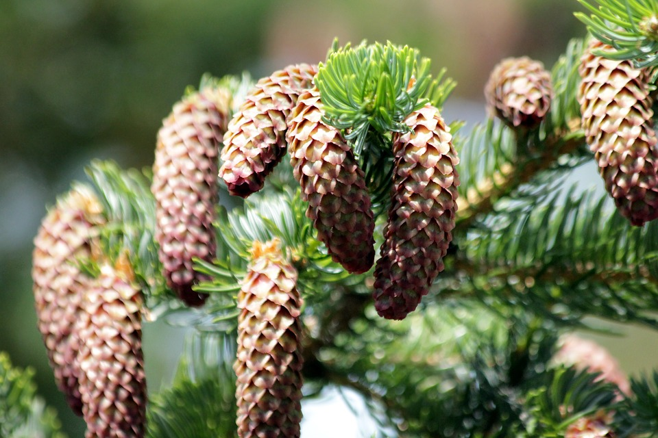 Image result for spruce trees
