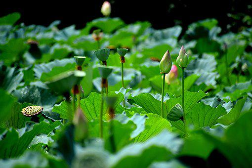 Lotus bud images pixabay download free pictures lotus pond buds flowers blossom mightylinksfo