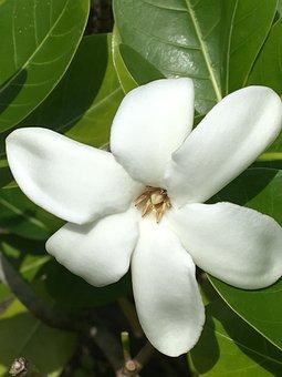 Tiare, Flower, White, Tropical, Raiatea
