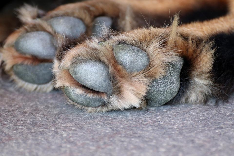 Pies Łapa, Pies, Łapa, Zwierzę Łapy, Pet, Futro, Dużych
