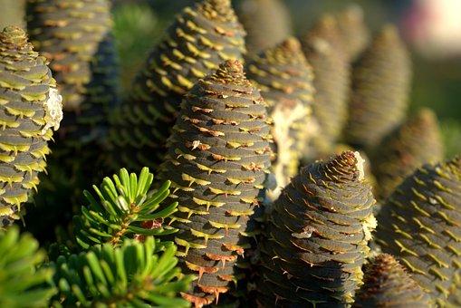 Tree, Spruce, Cones, Pine Cones