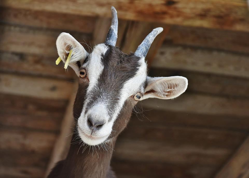 Goat, Pet, Farm, Horns, Livestock, Domestic Goat