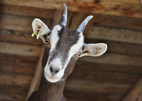 2,000+ Free Goat & Animal Images - Pixabay