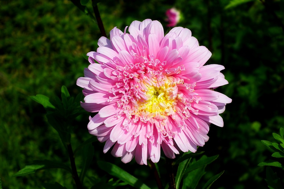 Flower aster garden free photo on pixabay flower aster garden pink summer nature the petals mightylinksfo