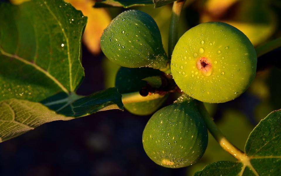 zöld füge