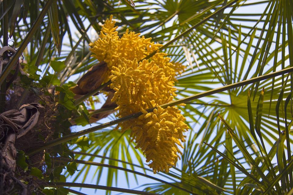 Palm tree yellow flower free photo on pixabay palm tree yellow flower nature tropical flora mightylinksfo