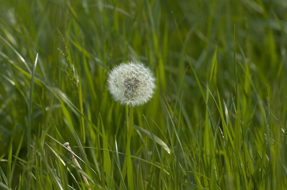 Dandelion, Weed, Plant, Flower, Grass, Flora, Garden