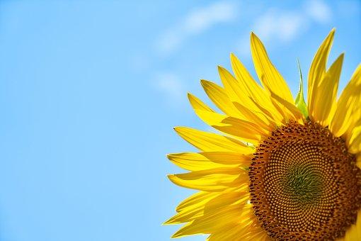 Auringonkukka, Keltainen, Core, Sininen
