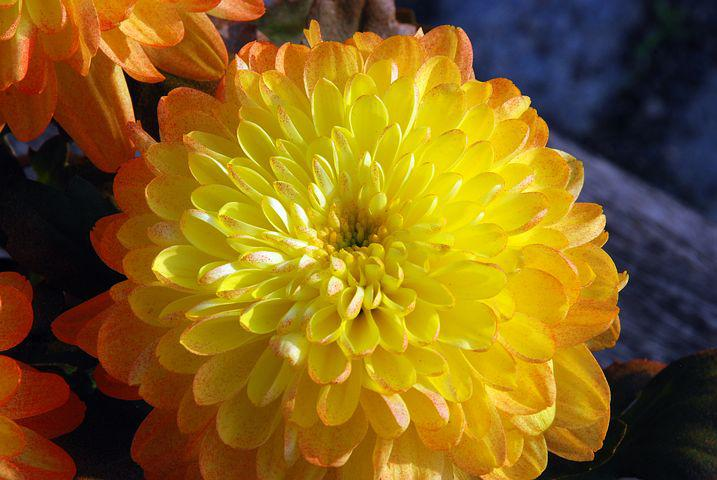 Желтые хризантемы картинки, открытки день мам