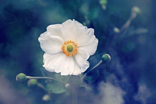 Анемон, Цветок, Растение, Природа, Лето
