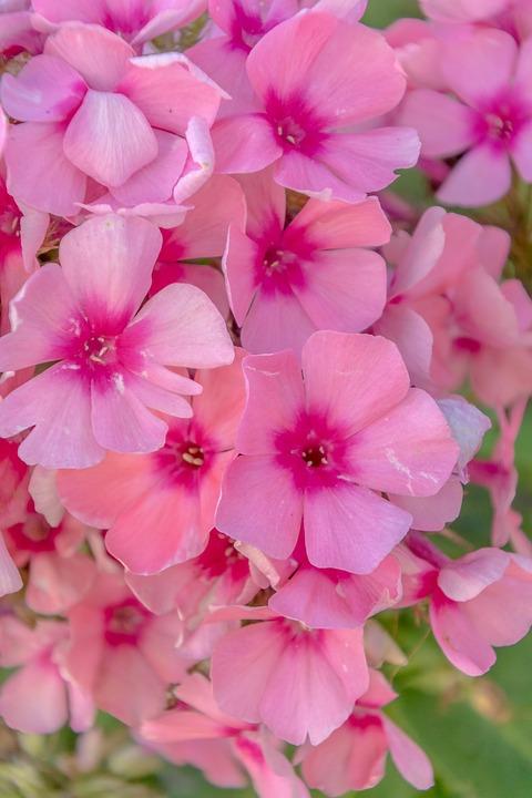 Purple flowers garden free photo on pixabay purple flowers garden nature plant flora violet mightylinksfo