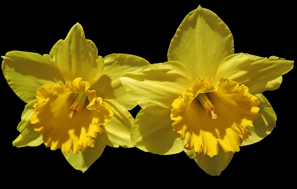 Daffodils flowers spring free photo on pixabay daffodils flowers spring bulbs nature mightylinksfo