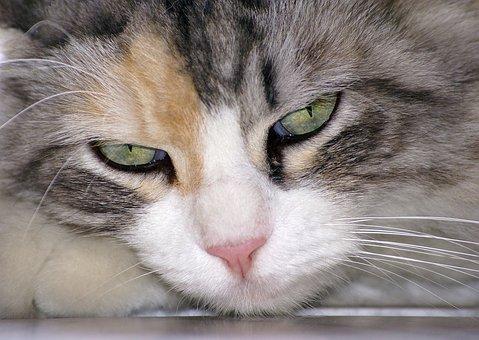 Gatto, Animale, Occhi Di Gatto, Sguardo