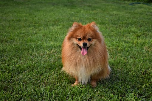 Dog, Spitz, Smile, Redhead, Home, Pet