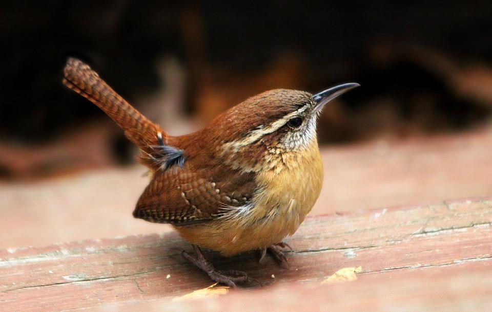 Wren Carolina Bird Free Photo On Pixabay