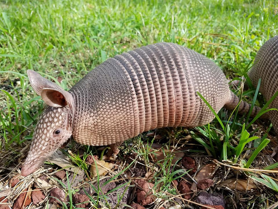 Baby Armadillo Spock Set To Live Long And Prosper
