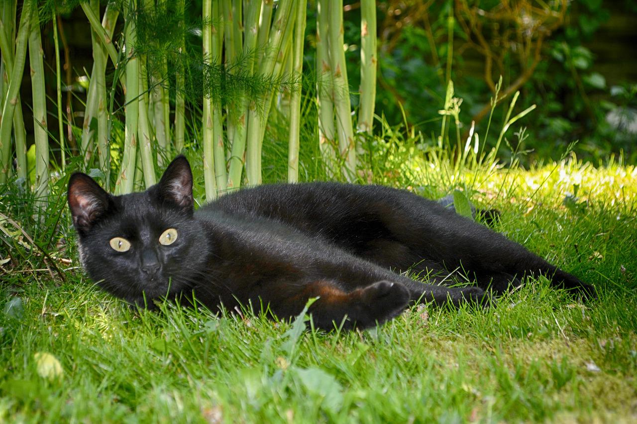 про черные приодетые кошки картинки скомороха, паяца, шута