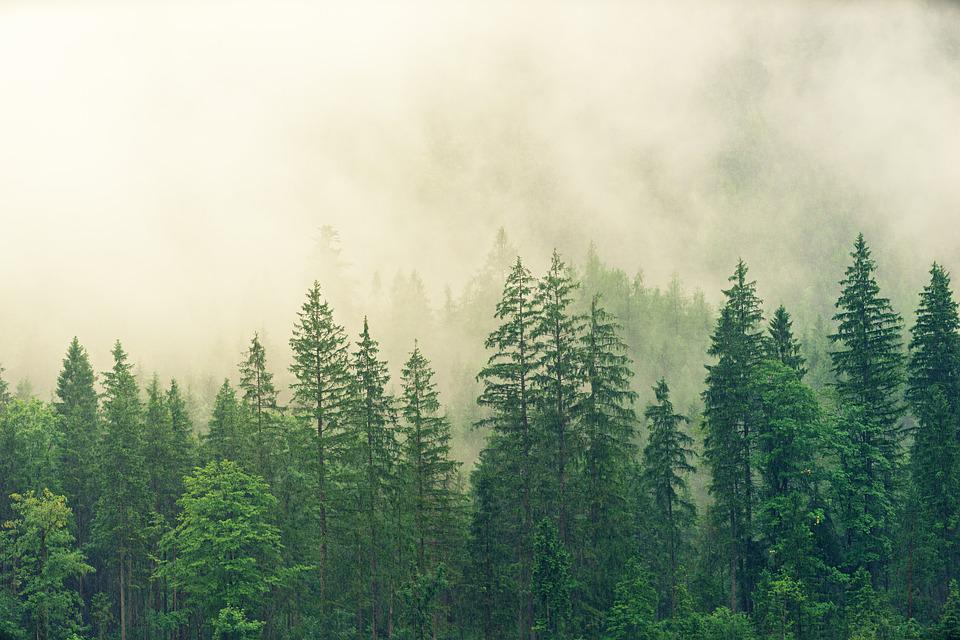 Fog, Coniferous Forest, Spruce, Forest, Green