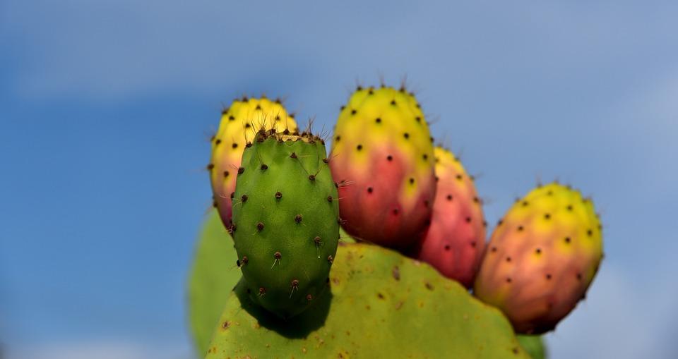 Cactus, Nopal, Espinoso, Planta
