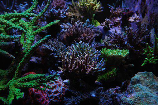 Reef Tank, Sps, Corals