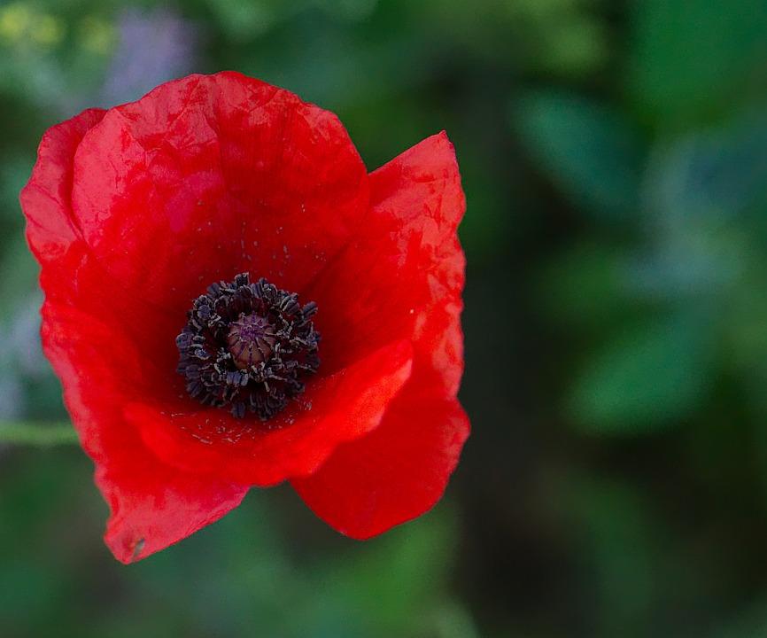 Poppy flower red free photo on pixabay poppy flower red black summer plant field mightylinksfo