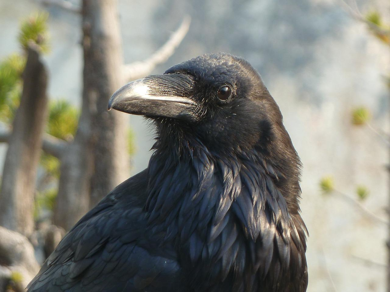 поклонники зейна, лучшее фото ворона суждено, нами