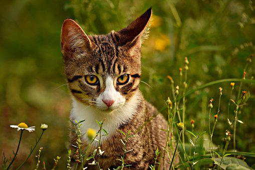 Tabby Katze, Makrele, Tier, Säugetier