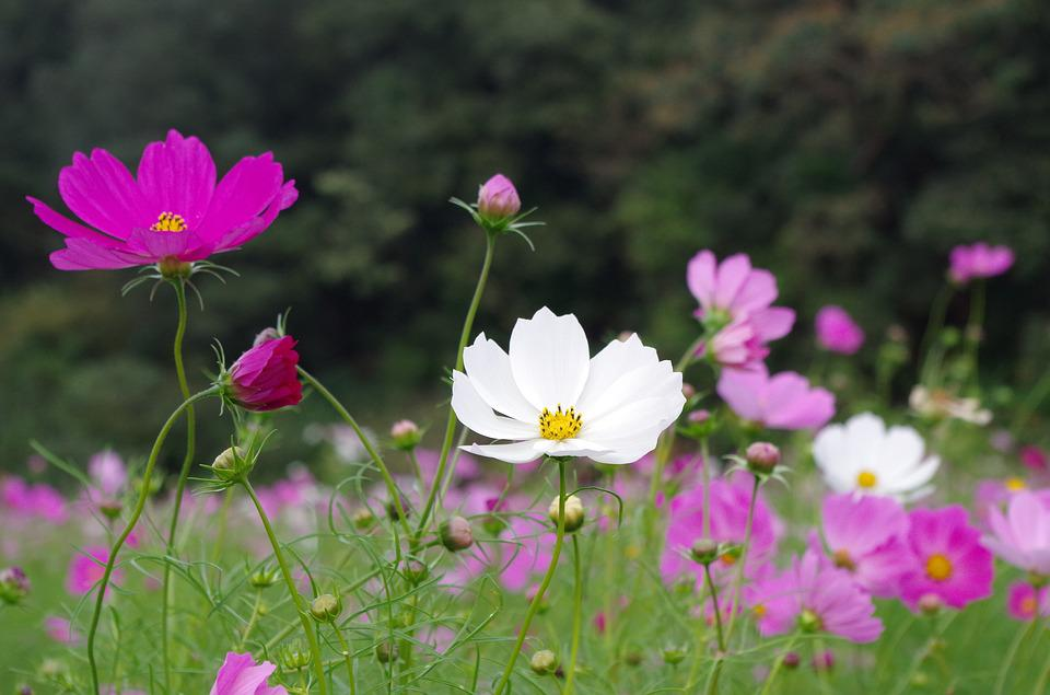 コスモス, 秋, 秋桜, コスモス畑, 花, Flowers, Autumn, 植物, 自然, 秋の風景