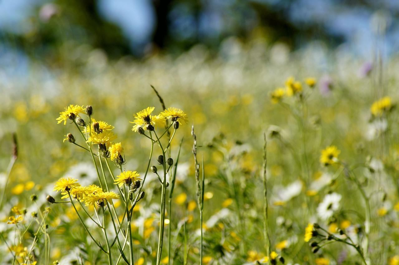 название желтых полевых цветов с картинками поводу