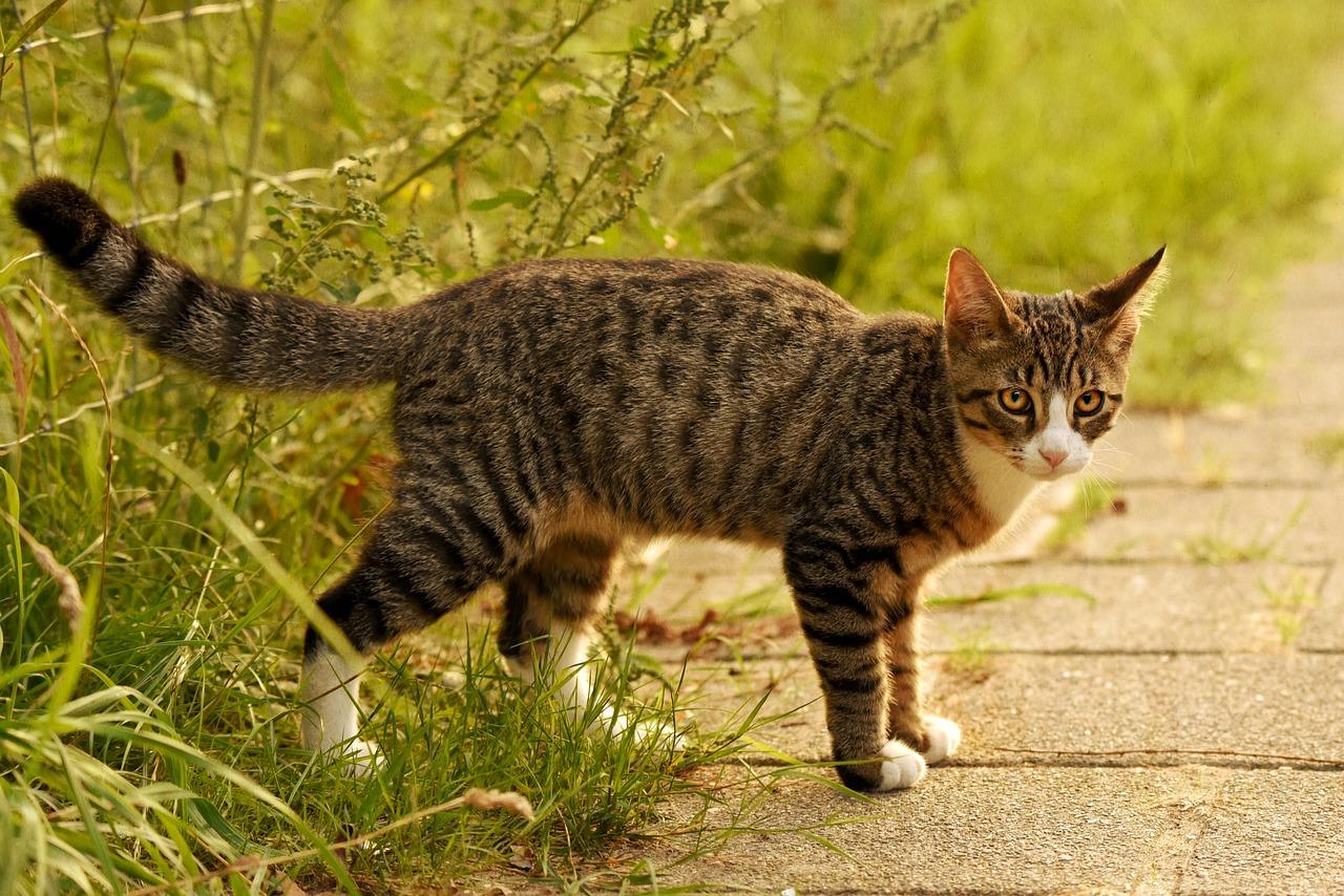 Birkenblatt  Tabby-cat-3627255_1280