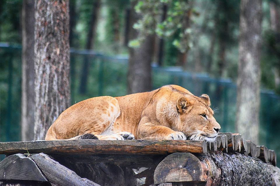 https://cdn.pixabay.com/photo/2018/08/24/09/22/lion-3627604_960_720.jpg