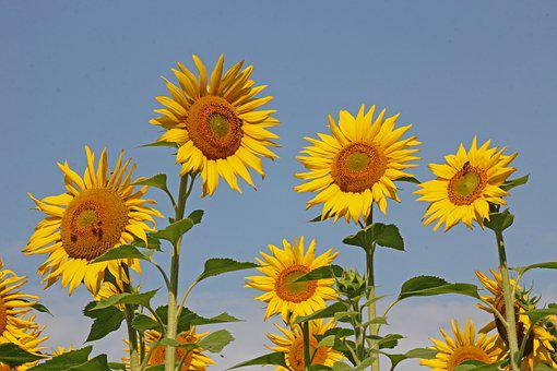 Sunflower, Nature, Yellow, Flower