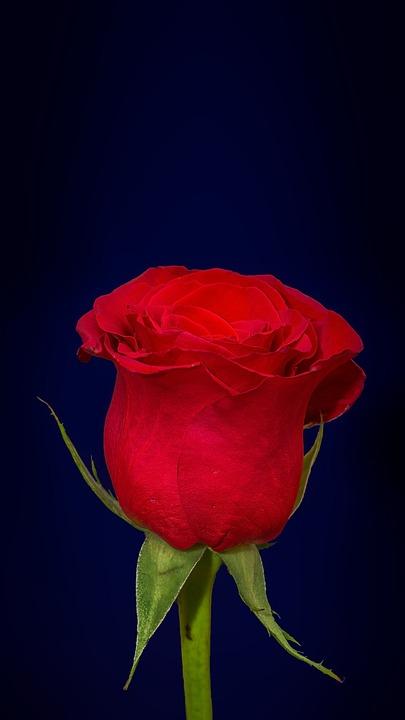 red rose dark blue magenta purple hue background