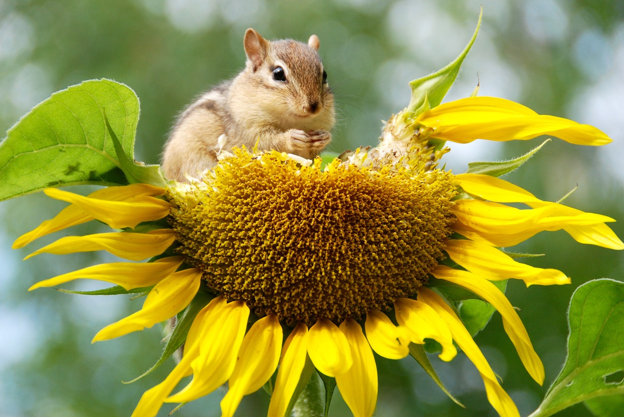 chipmunk eating a sunflower seed