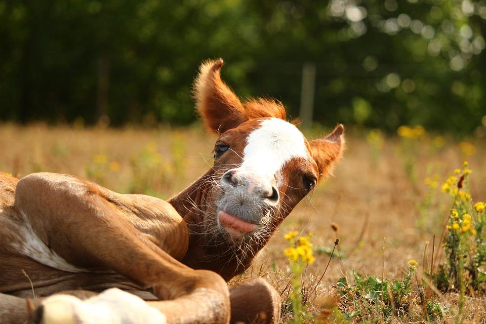 Horse, Foal, Thoroughbred Arabian, Animal, Nature, Mare