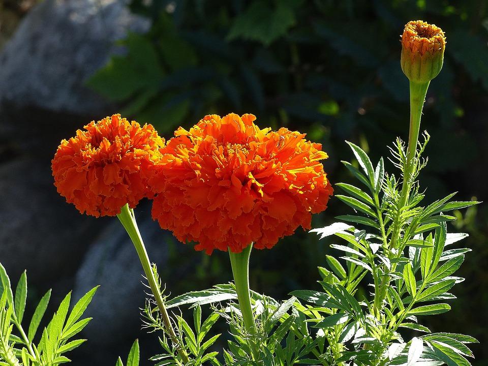Κατιφέδες Λουλούδι Πορτοκάλι - Δωρεάν φωτογραφία στο Pixabay
