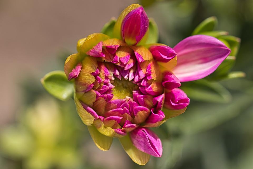 Dahlia Kuncup Bunga Foto Gratis Di Pixabay