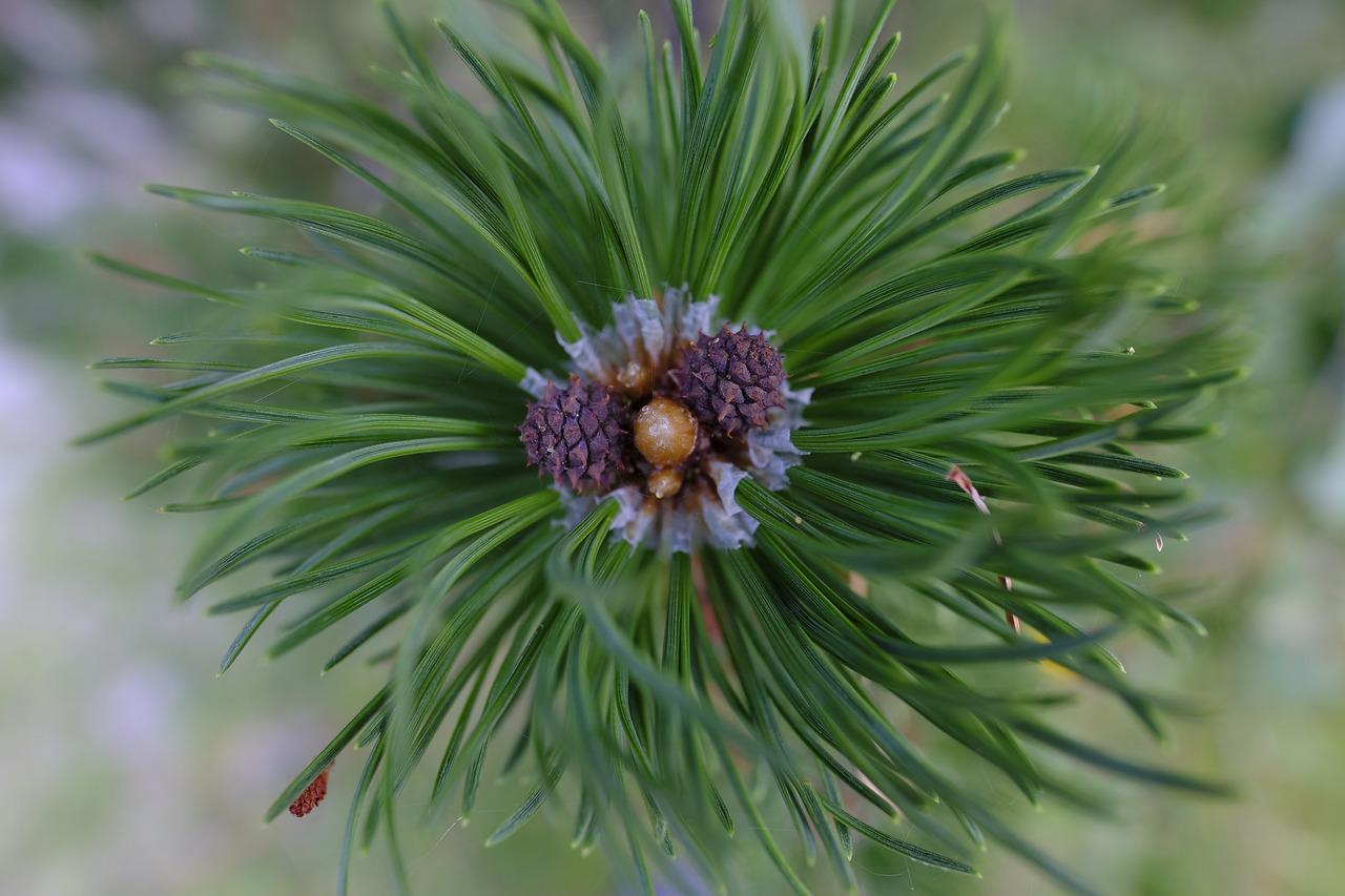 Сосна фото дерева и листьев варианты