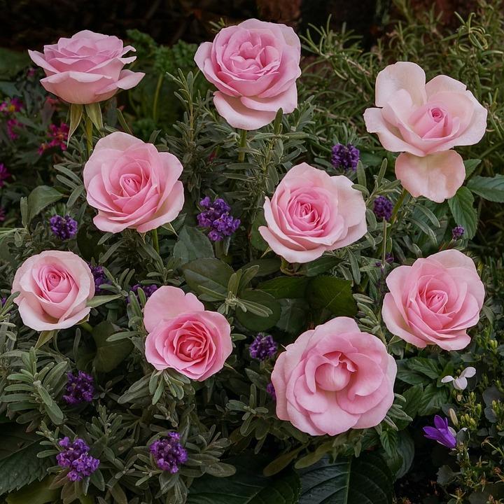 Lieblings Rosen Lavendel Glockenblume - Kostenloses Foto auf Pixabay @XP_68