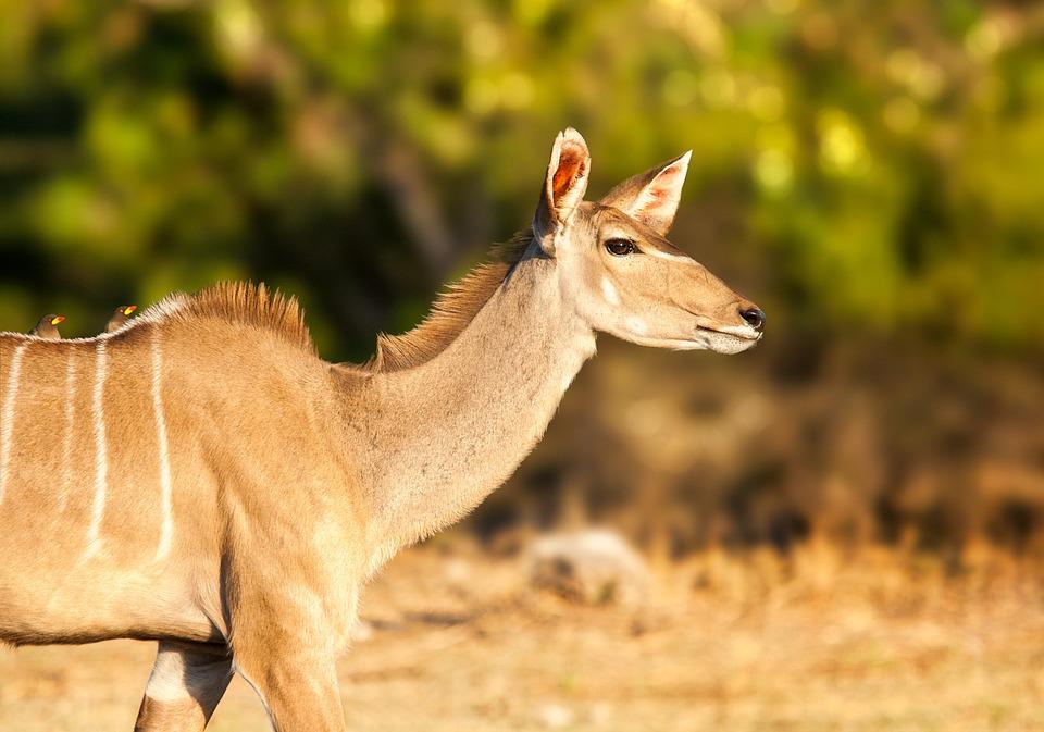 afrikansk antilope