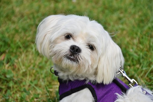 Dog, Maltese, Small, White, Small Dog