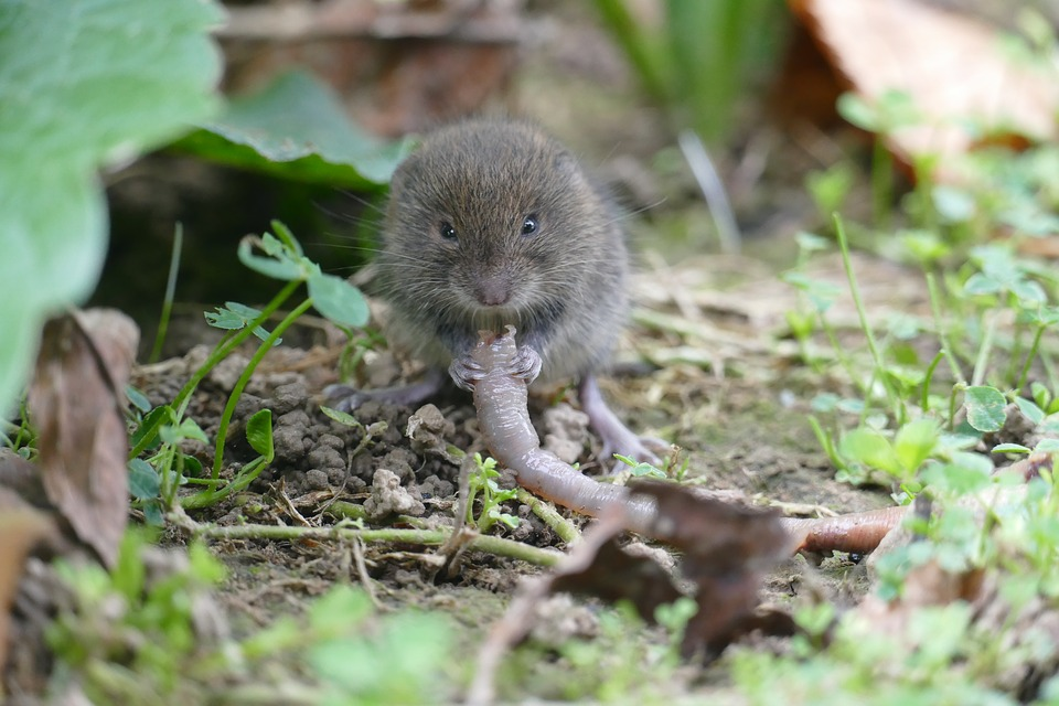 vole eating worm