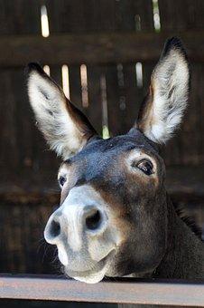 Donkey, Long Ears, Portrait, Funny