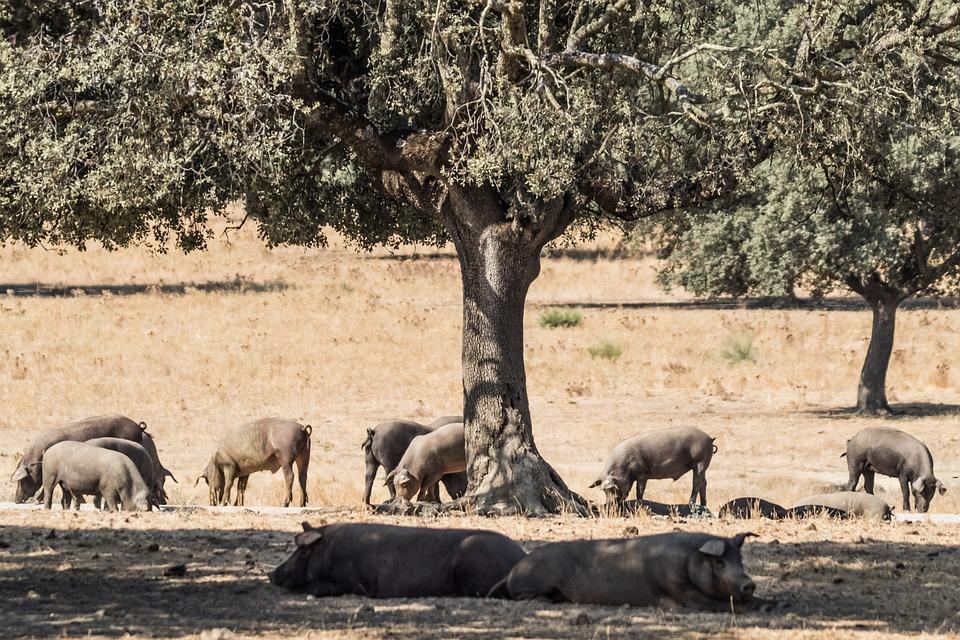 España, Extremadura, Encina Árboles, Cerdo Ibérico