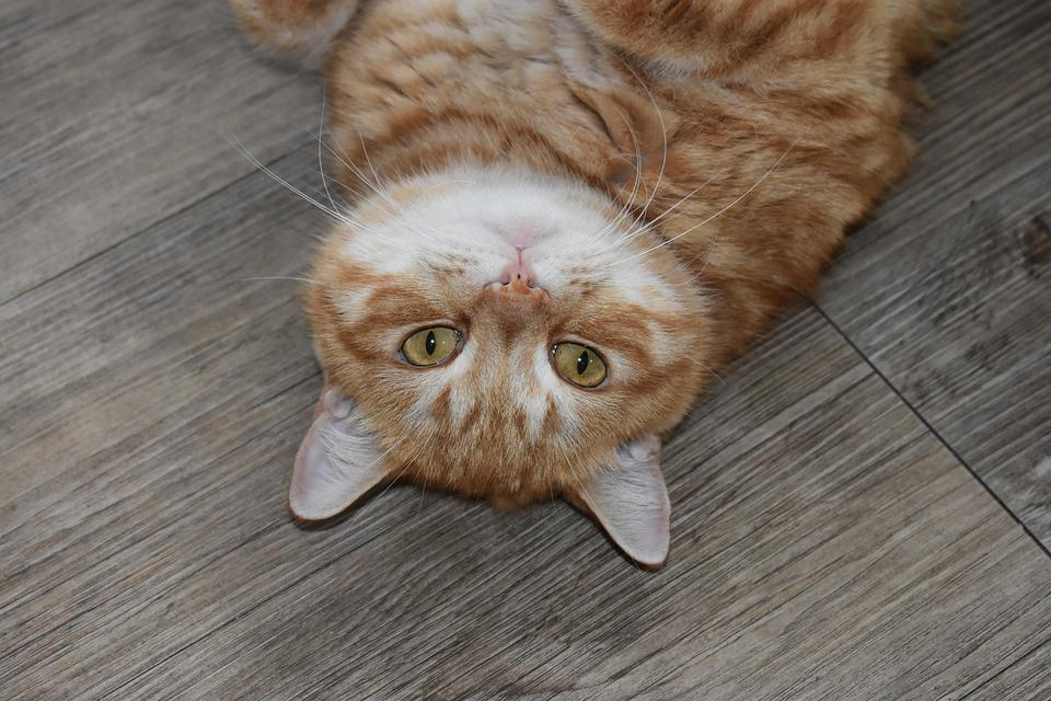 Cat, Redhead, Portrait, Watch, Lie, On The Flo