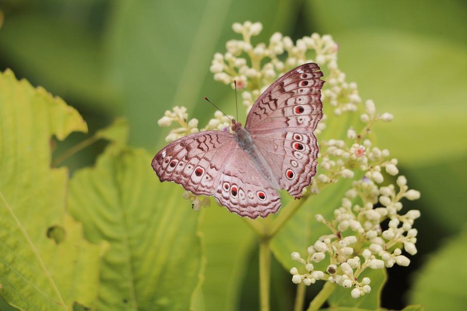 Indian Schmetterling Flugel Kostenloses Foto Auf Pixabay