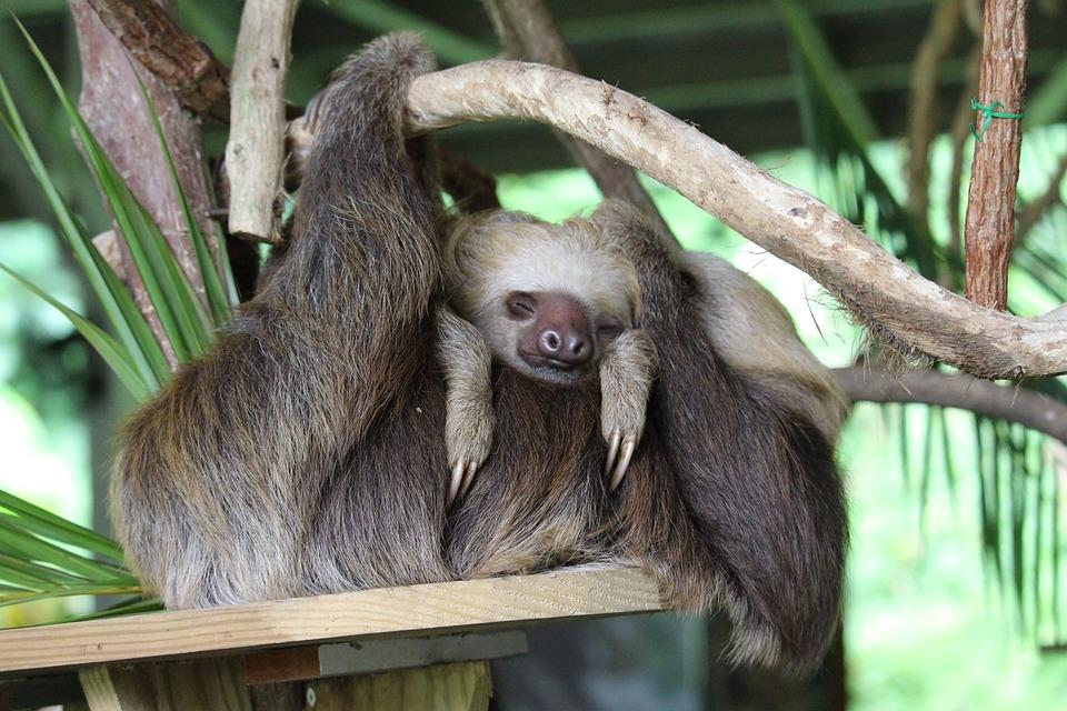 Panama, Sloth, Child, Mother, Family, Young, Animal