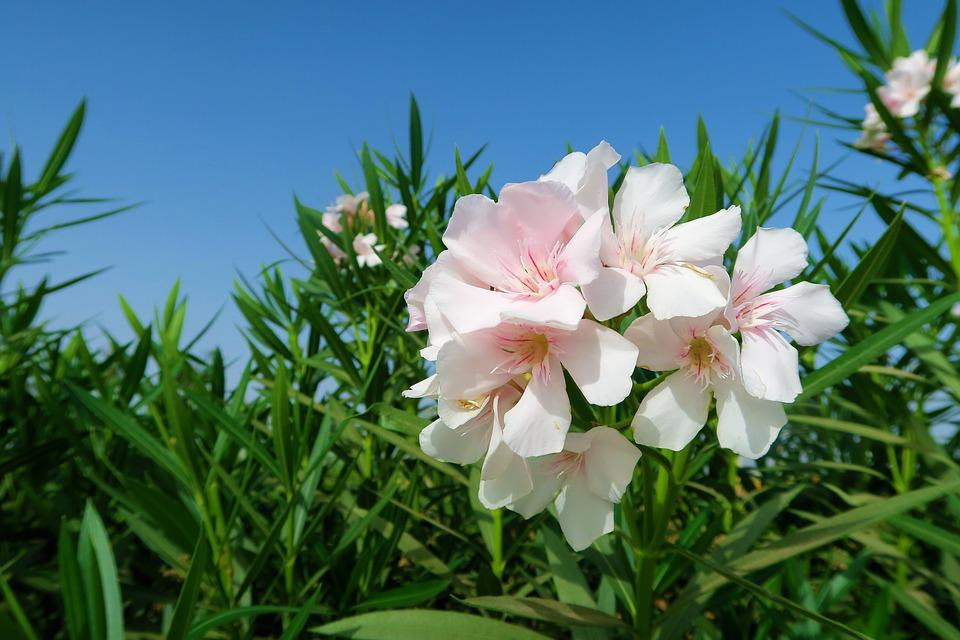 Oleander white free photo on pixabay oleander white oleander white flower nature plant mightylinksfo